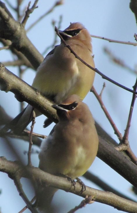 Cedar Waxwings near the Trunk River